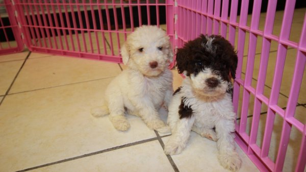 Goldendoodles for Sale in Atlanta | Dogs on Oodle Classifieds