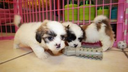 teddy bear puppies for sale georgia. Shih Tzu Bichon Puppy Breeders Ga