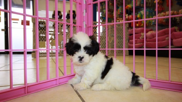 exceptional teddy bear puppy breeders geogria  hypoallergenic non shedding puppies atlanta at