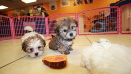Hypoallergenic Teddy Bear puppies for sale Atlanta. Bichon Frise Shih Tzu puppy breeders georgia