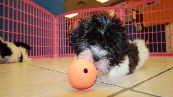 Beautiful Shih Poo Puppies For Sale In Atlanta Georgia, GA