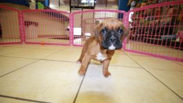 Boxer puppies for sale Georgia
