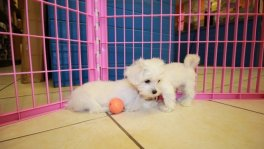 maltichon puppies for sale ga maltese bichon frise puppies