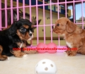 Cavalier King Charles Spaniel puppies for sale in Georgia (12)