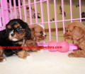 Cavalier King Charles Spaniel puppies for sale in Georgia (13)