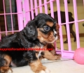 Cavalier King Charles Spaniel puppies for sale in Georgia (14)