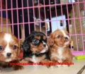 Cavalier King Charles Spaniel puppies for sale in Georgia (1)