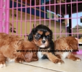 Cavalier King Charles Spaniel puppies for sale in Georgia (5)