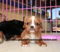 Cavalier King Charles Spaniel puppies for sale in Georgia (6)