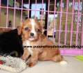 Cavalier King Charles Spaniel puppies for sale in Georgia (8)