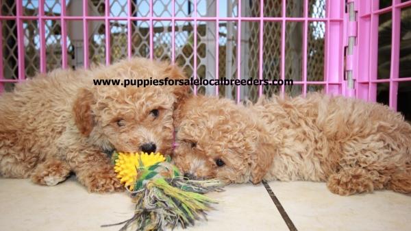 Beautiful Red MaltiPoo Puppies For Sale, Georgia Local