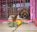 Shih Poo puppies for sale in Georgia (14)