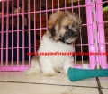 Shih Poo puppies for sale in Georgia (1)