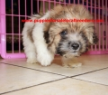Shih Poo puppies for sale in Georgia (8)
