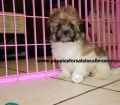 Shih Poo puppies for sale in Georgia (9)