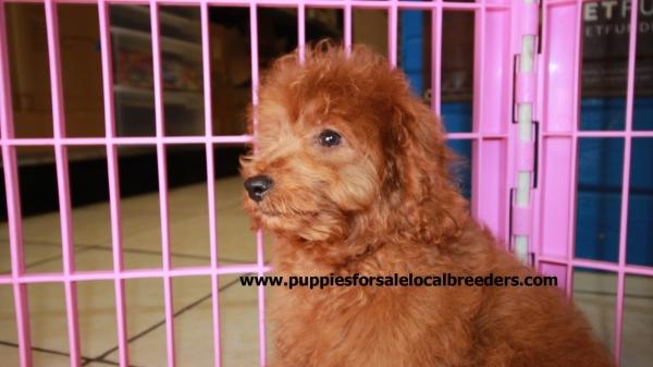 Beautiful Red Cavapoo Puppies For Sale, Georgia Local