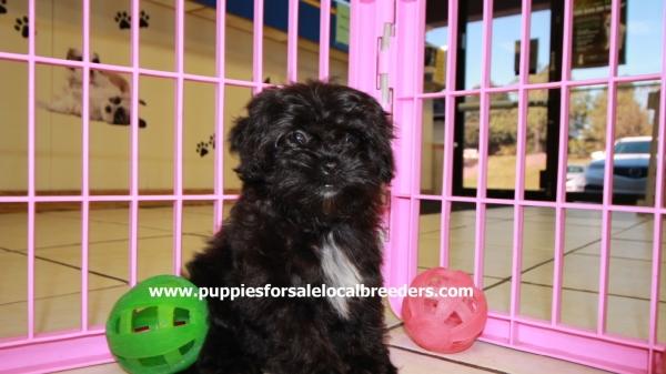 Beautiful Black MaltiPoo Puppies For Sale, Georgia Local