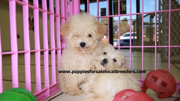 Beautiful White MaltiPoo Puppies For Sale, Georgia Local Breeders