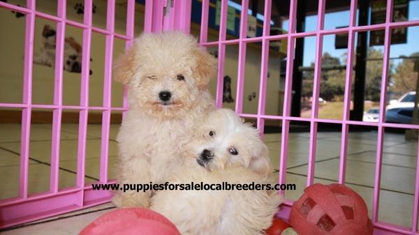 Beautiful White MaltiPoo Puppies For Sale, Georgia Local