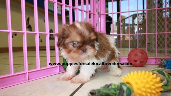 Small Size Shih Tzu Puppies For Sale Georgia Local Breeders Near