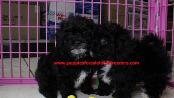 Sweet Cockerchon Puppies For Sale in Atlanta Georgia, GA at