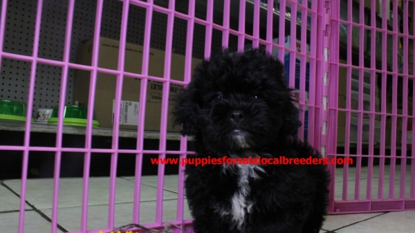 Sweet Cockerchon Puppies For Sale In Atlanta Georgia Ga At Puppies For Sale Local Breeders