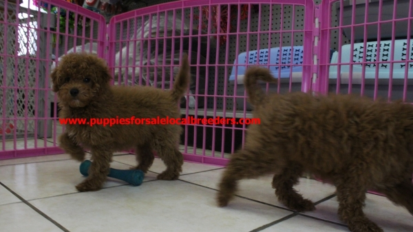 Happy Miniature Goldendoodle Puppies For Sale In Georgia at