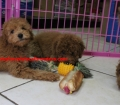 Mini Goldendoodle puppies for sale in Georgia near Atlanta Ga (19)