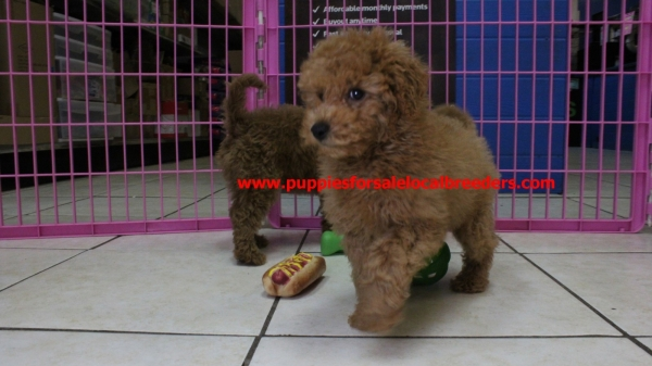 Happy Miniature Goldendoodle Puppies For Sale In Georgia