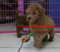 Mini Goldendoodle puppies for sale in Georgia near Atlanta Ga (1)