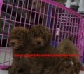 Mini Goldendoodle puppies for sale in Georgia near Atlanta Ga (23)