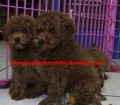 Mini Goldendoodle puppies for sale in Georgia near Atlanta Ga (25)