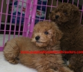 Mini Goldendoodle puppies for sale in Georgia near Atlanta Ga (30)