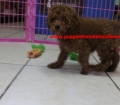 Mini Goldendoodle puppies for sale in Georgia near Atlanta Ga (3)