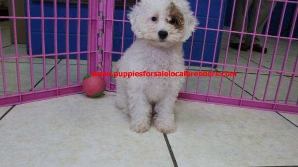 Precious Bichon Poo Puppies for Sale In Georgia
