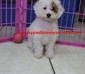 BichonPoo puppies for sale in ga (1)