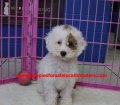 BichonPoo puppies for sale in ga (2)
