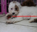BichonPoo puppies for sale in ga (7)