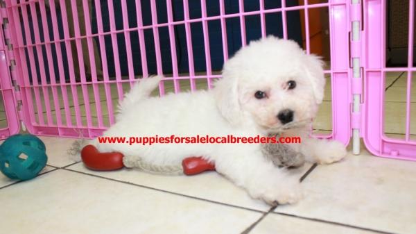 Spunky Bichon Frise Puppies For Sale, Georgia Local Breeders