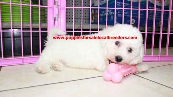 Spunky Bichon Frise Puppies For Sale, Georgia Local Breeders