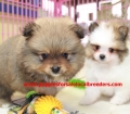 Pomeranian puppies for sale in Georgia (16)