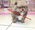 Pomeranian puppies for sale in Georgia (2)
