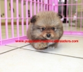 Pomeranian puppies for sale in Georgia (5)