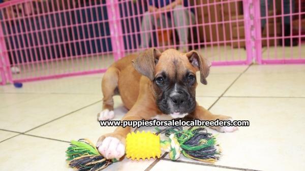Beautiful Happy Boxer Puppies For Sale Near Atlanta Georgia At