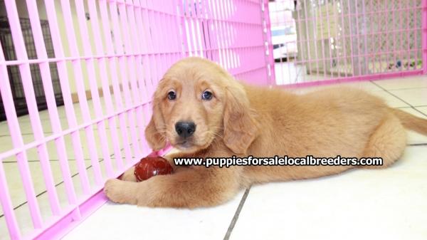 Beautiful Red Golden Retriever Puppies For Sale Near Atlanta