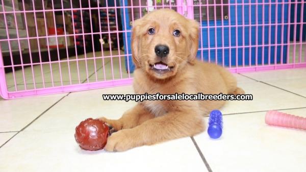 Beautiful Red Golden Retriever Puppies For Sale Near Atlanta Ga At