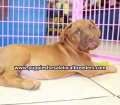 Dogue De Bordeaux puppies for sale in Georgia Local Breeders (23)