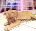 Dogue De Bordeaux puppies for sale in Georgia Local Breeders (28)