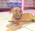 Dogue De Bordeaux puppies for sale in Georgia Local Breeders (29)