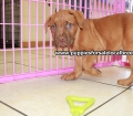 Dogue De Bordeaux puppies for sale in Georgia Local Breeders (31)